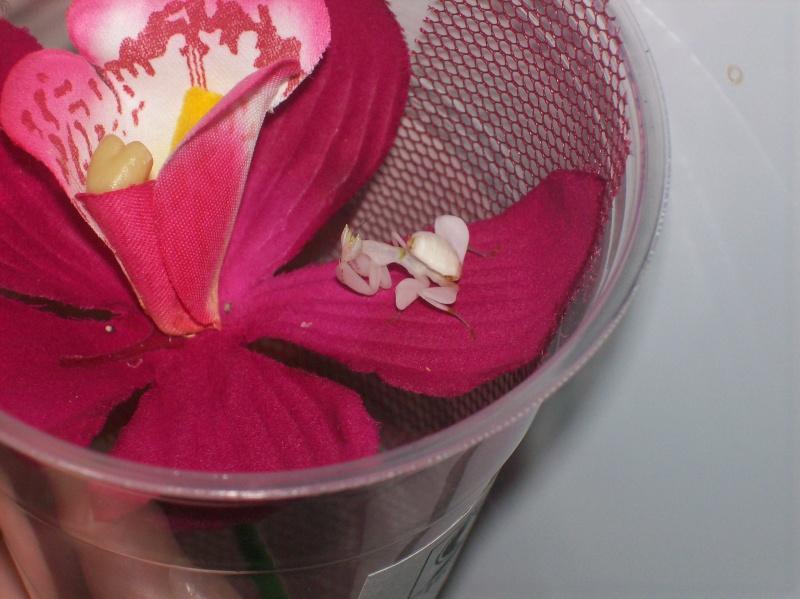 """Suivit de Douce """"mante orchidée"""" 100_6517"""