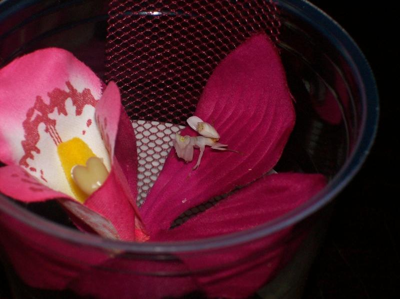 """Suivit de Douce """"mante orchidée"""" 100_6518"""