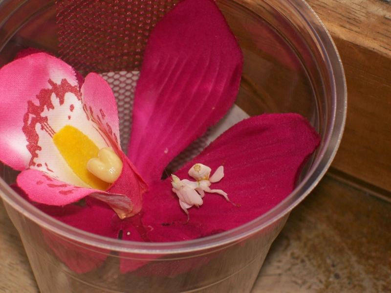 """Suivit de Douce """"mante orchidée"""" 100_6612"""