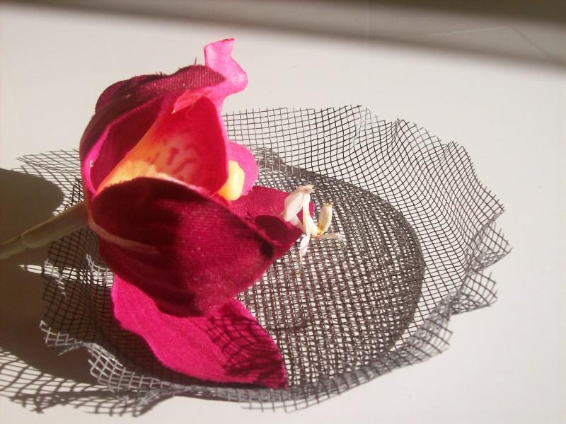 """Suivit de Douce """"mante orchidée"""" 100_6613"""