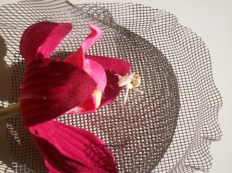 """Suivit de Douce """"mante orchidée"""" 100_6614"""