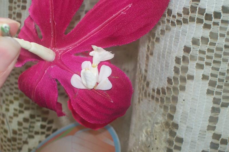 """Suivit de Douce """"mante orchidée"""" 100_6916"""