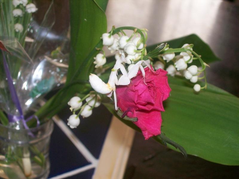 """Suivit de Douce """"mante orchidée"""" 100_7126"""