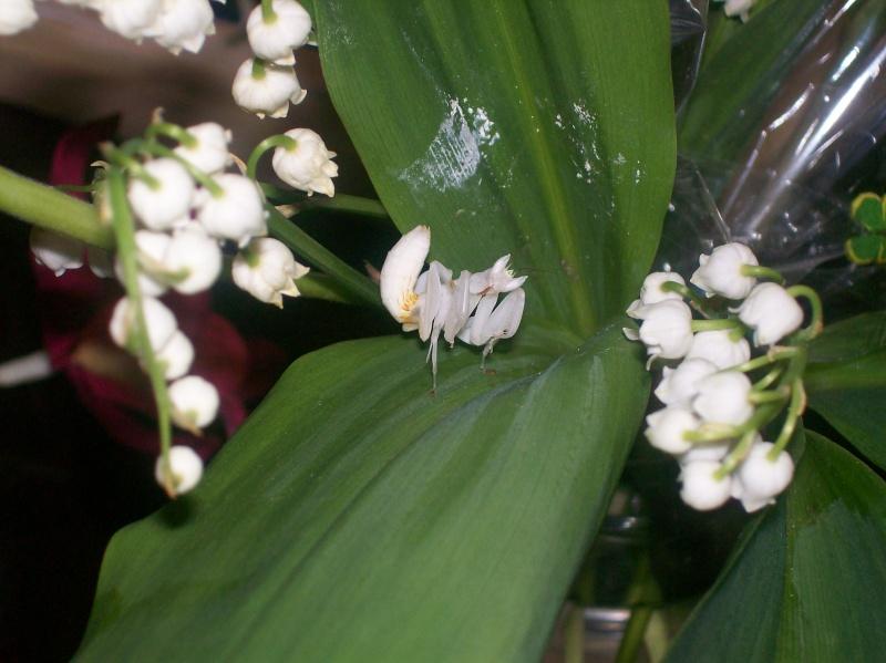 """Suivit de Douce """"mante orchidée"""" 100_7215"""