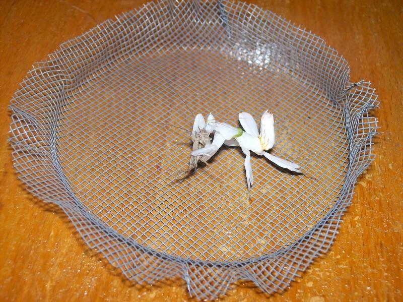"""Suivit de Douce """"mante orchidée"""" 100_7717"""