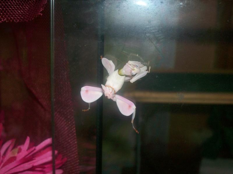 """Suivit de Douce """"mante orchidée"""" 100_8215"""