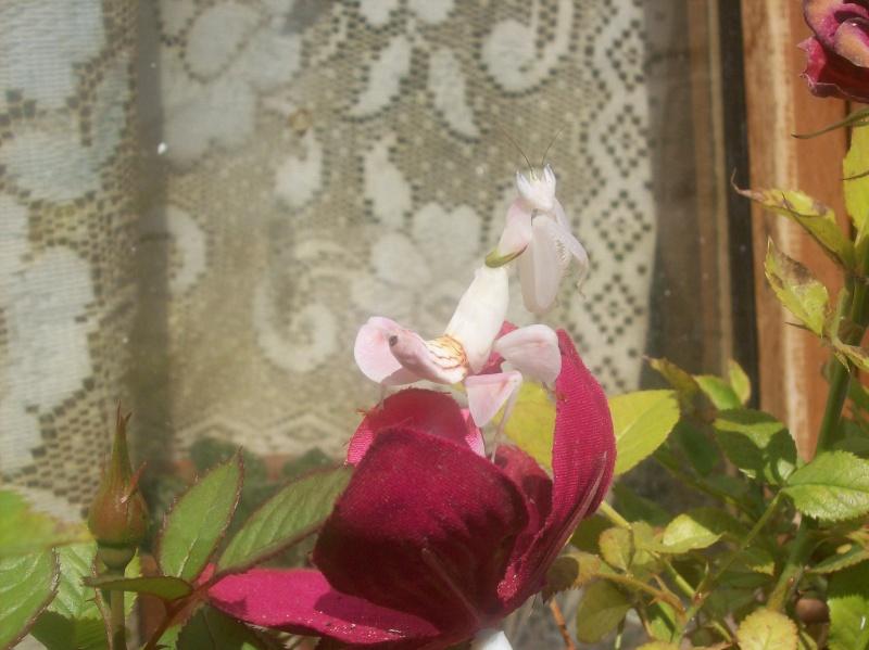 """Suivit de Douce """"mante orchidée"""" 100_8216"""