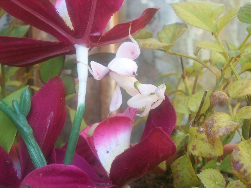 """Suivit de Douce """"mante orchidée"""" 100_8218"""