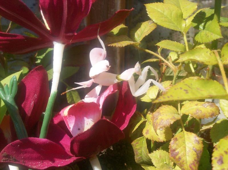 """Suivit de Douce """"mante orchidée"""" 100_8219"""