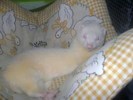 Les couleurs du furet [En cours..] Albino10
