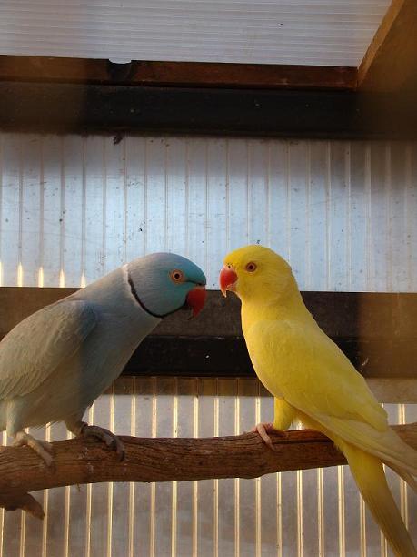 mes oiseaux de volière... A12
