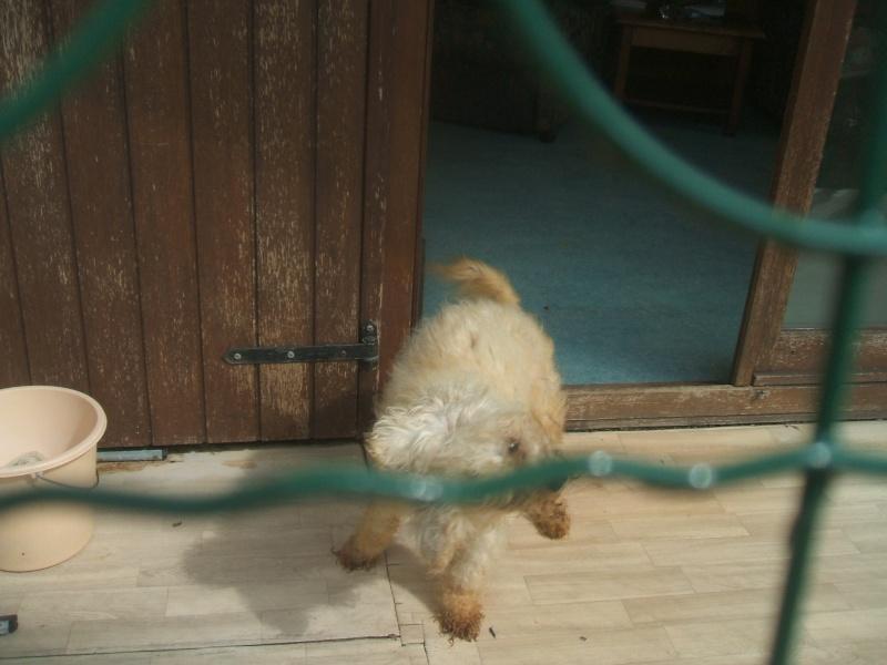 bichon male  treize ans qui a fait un avc - DECEDE - Dscf4146