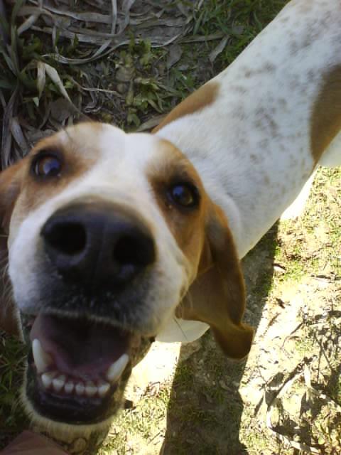 CHARLOTTE, croisée beagle/basset hound femelle, 3/4 ans (13) Dsc00313