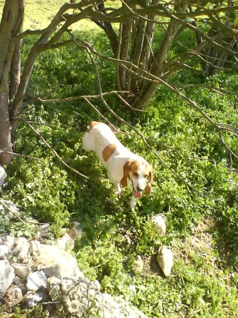 CHARLOTTE, croisée beagle/basset hound femelle, 3/4 ans (13) Dsc00314
