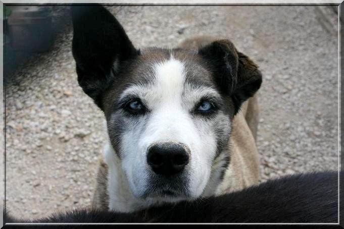 DIANE, femelle X husky née en 1996 (refuge d'Ormes 51) Img_3021
