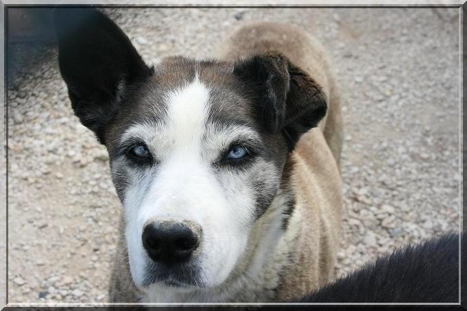 DIANE, femelle X husky née en 1996 (refuge d'Ormes 51) Img_3022