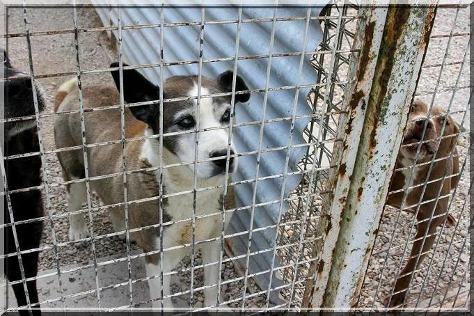 DIANE, femelle X husky née en 1996 (refuge d'Ormes 51) Img_3023