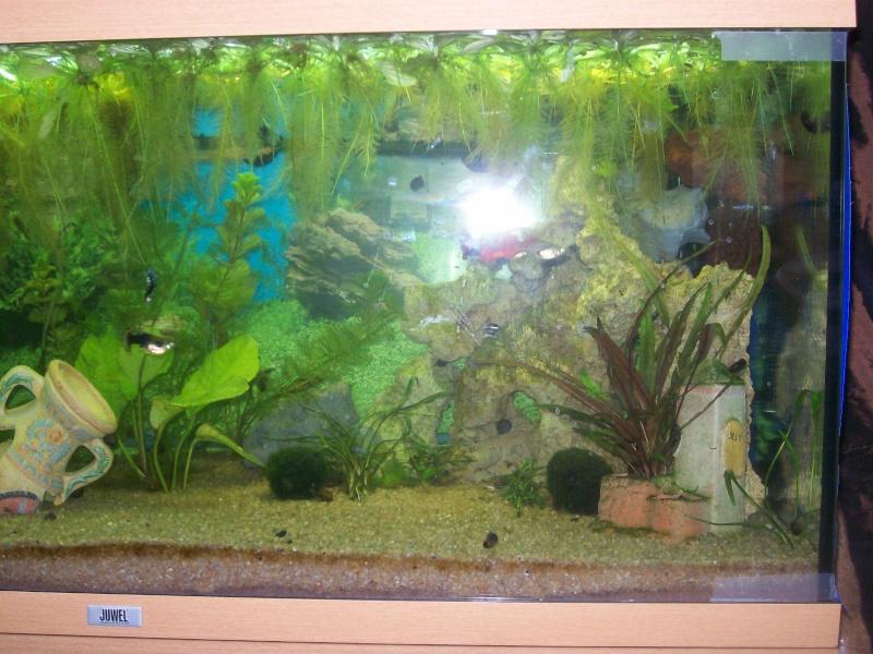 aquarium 180l, 39l crevette, 20l repro, 17l crevette, 12l combattabt, et 30l red cherry (diablotin) 101_0719