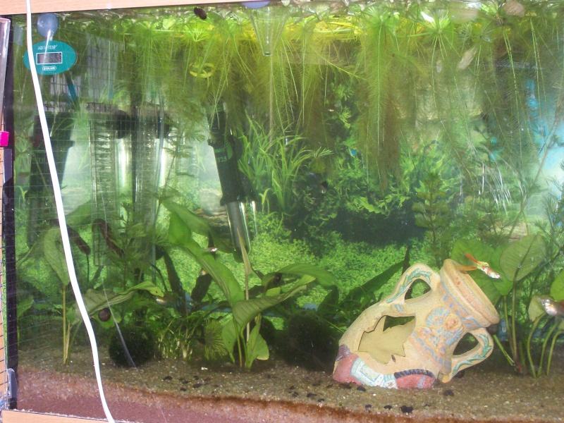 aquarium 180l, 39l crevette, 20l repro, 17l crevette, 12l combattabt, et 30l red cherry (diablotin) 101_0720