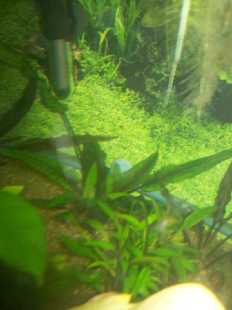 aquarium 180l, 39l crevette, 20l repro, 17l crevette, 12l combattabt, et 30l red cherry (diablotin) Plante14