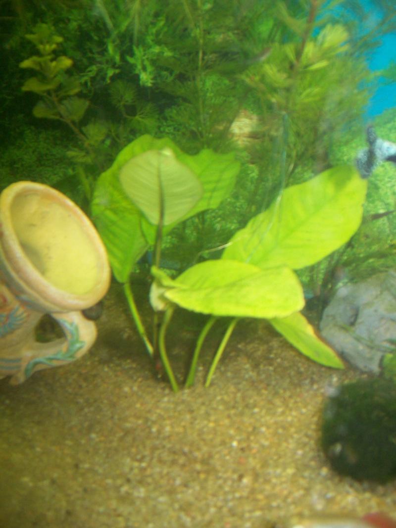 aquarium 180l, 39l crevette, 20l repro, 17l crevette, 12l combattabt, et 30l red cherry (diablotin) Plante16