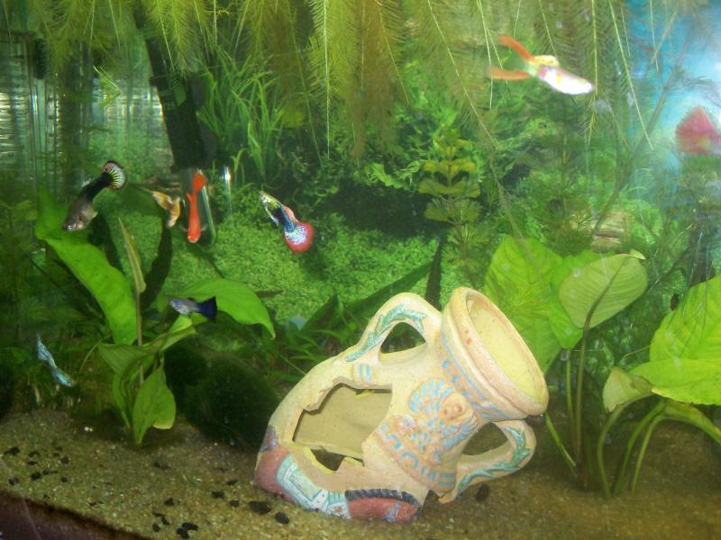 aquarium 180l, 39l crevette, 20l repro, 17l crevette, 12l combattabt, et 30l red cherry (diablotin) Plante19