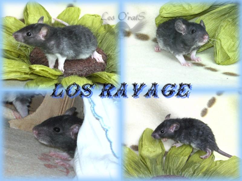 Shimi * Elioth, mink, noir, rex, vari, down under...(67) - Page 3 Ravage12