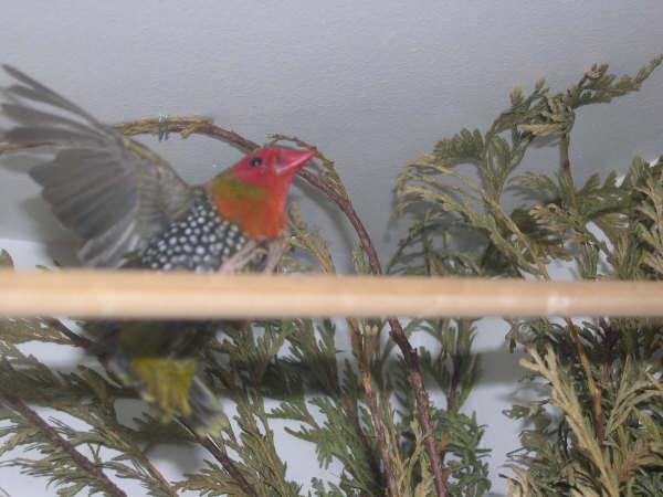 Twin-Spot Verde (nitidula mandingoa) Photos39