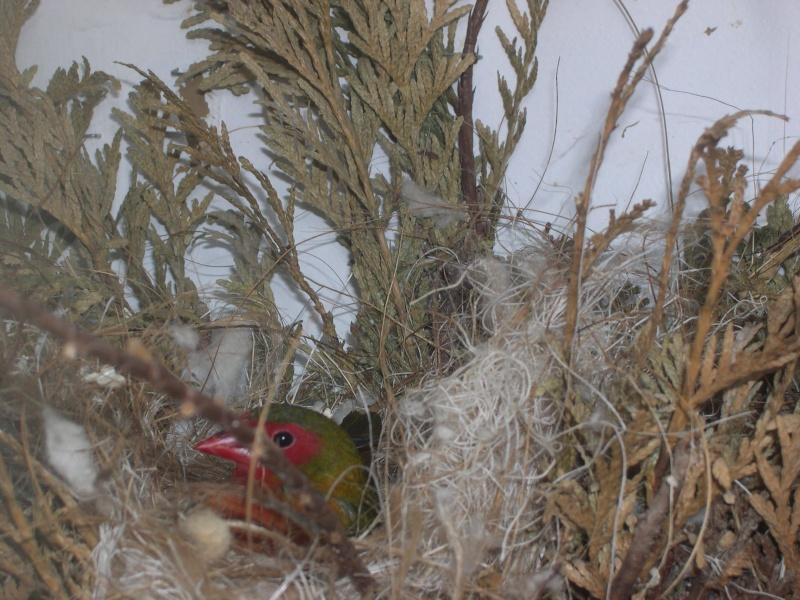 Twin-Spot Verde (nitidula mandingoa) Photos40