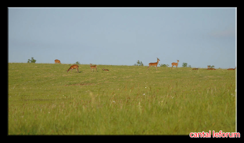 Biches, cerfs, chevreuils sur Allanche Dsc01010