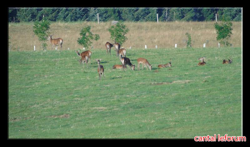 Biches, cerfs, chevreuils sur Allanche Dsc01011