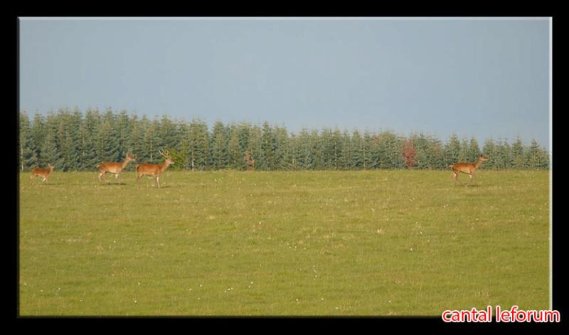 Biches, cerfs, chevreuils sur Allanche Dsc01013