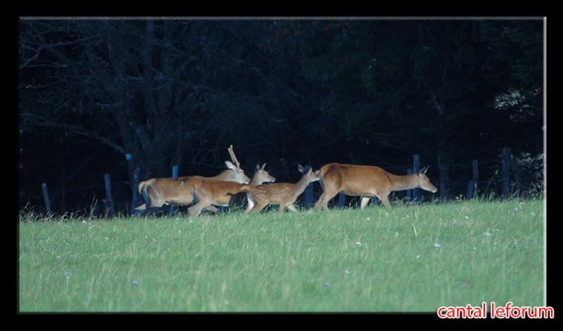 Biches, cerfs, chevreuils sur Allanche Dsc01110