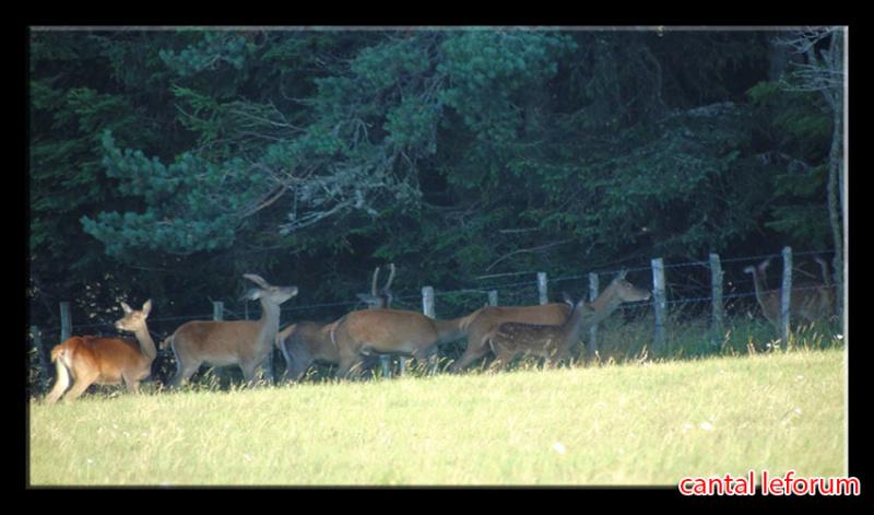 Biches, cerfs, chevreuils sur Allanche Dsc01111