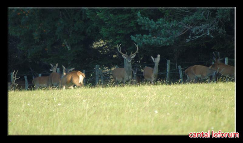 Biches, cerfs, chevreuils sur Allanche Dsc01112