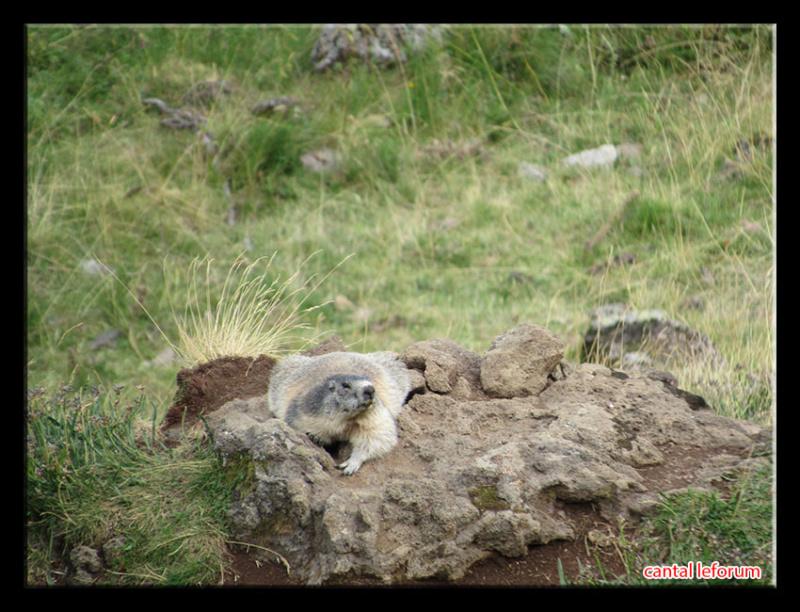 Les marmottes du cirque d'Eylac Marmot10
