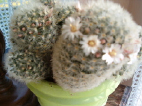 Mes cactus s'éveillent . Cactus11