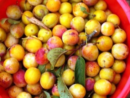 Mirabelles. Copie_57