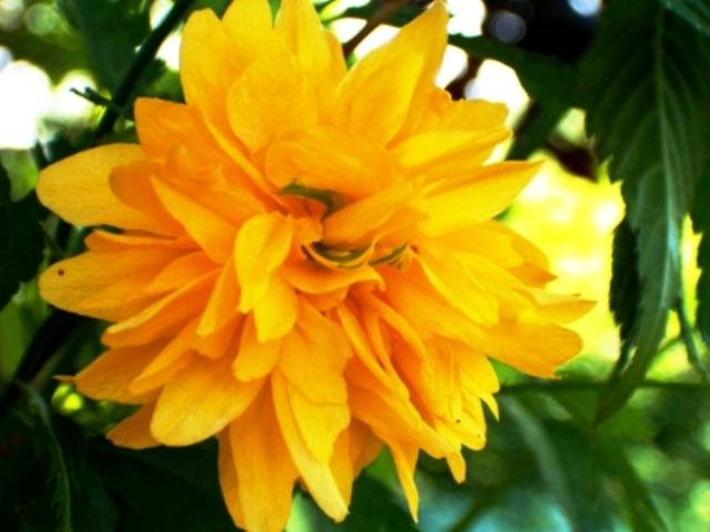 ???Arbuste a fleurs jaunes printanières Futurs11