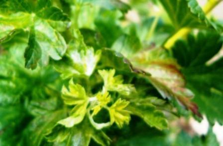Champignons sur groseiller à maquereaux Grosei10