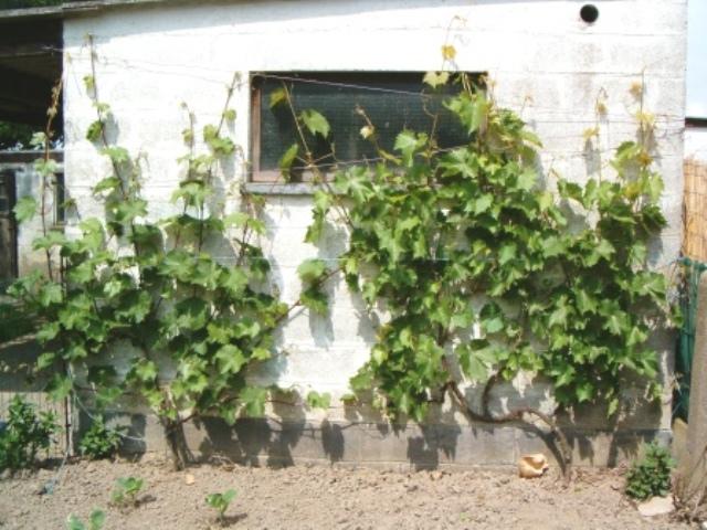 Vigne Vignes10