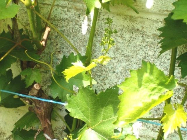 Vigne Vignes12