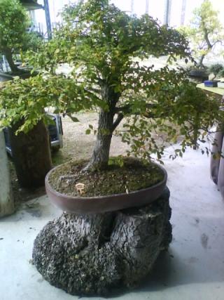 Un joli bonsaï pour Papy Dsc00724
