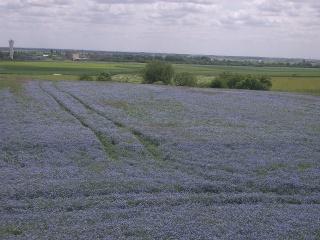 Lin bleu vivace Imgp3542