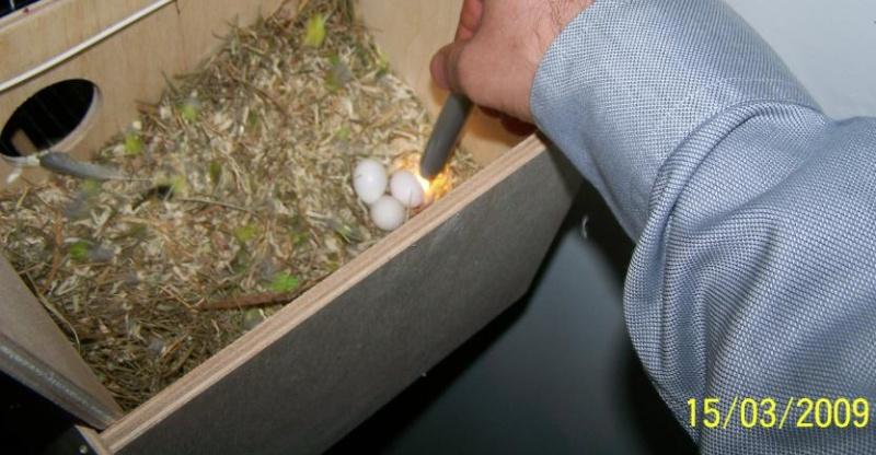 speratura delle uova di agapornis Giardi10
