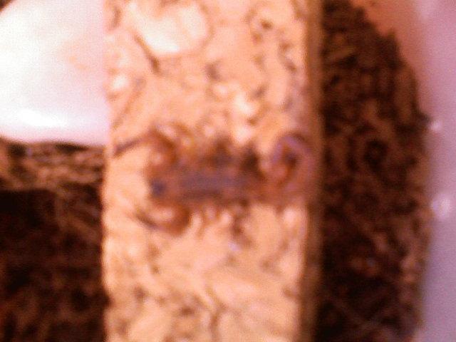 Babycurus jacksoni (Rusty Thick-Tail)~~HOT~~ Redjax13