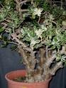 Interesting/questionable bumps on variegated Crassula argentea Ca_00211