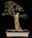 Carpinifolia elm Carpin10