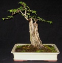 Carpinifolia elm Carpin11
