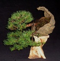 Virginia pine...another display option. Pine_010